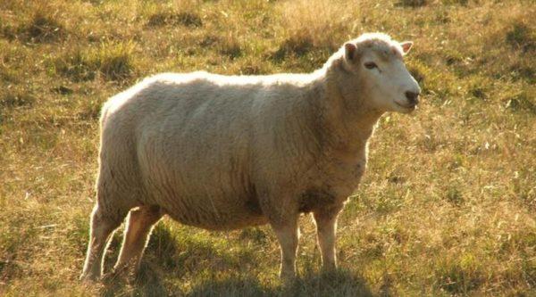 Овцы и бараны мясной линии выносливы и обладают крепким иммунитетом