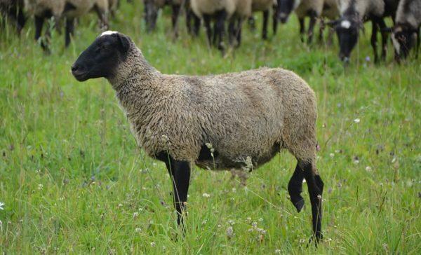 Романовские овцы являются генетически чистой породой