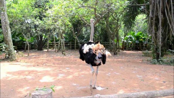 Несмотря на свойственную страусам глупость, они очень осторожны
