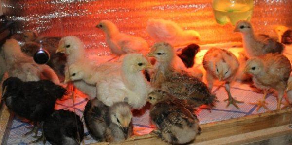 Птенцы должны получать питание не реже 5-6 раз в сутки