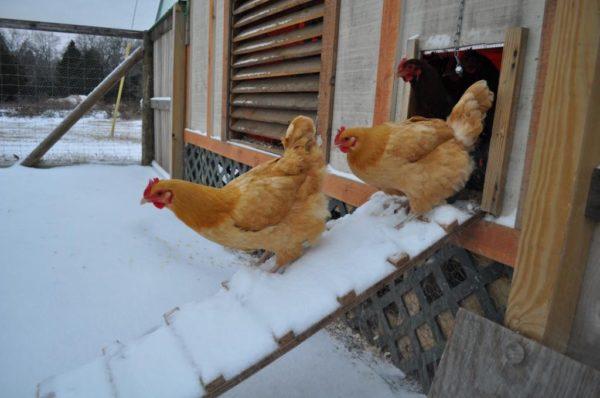 В зимнее время куриц можно выпускать на прогулку, но при температуре не ниже -5-6 градусов