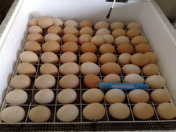 Инкубация – выгодный способ разведения кур
