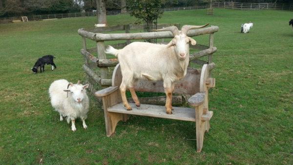 Одни из самых продуктивных сельскохозяйственных животных, востребованных повсеместно