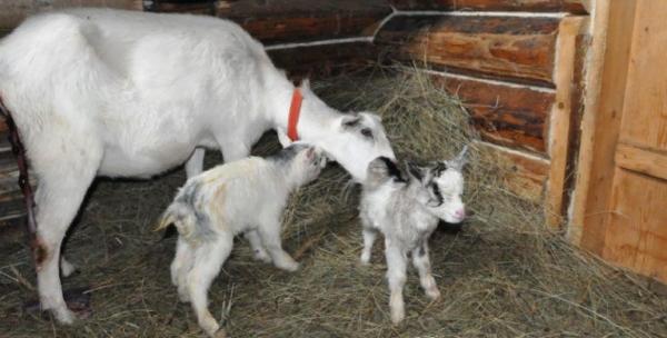 Чаще всего коза приносит не больше двух детенышей
