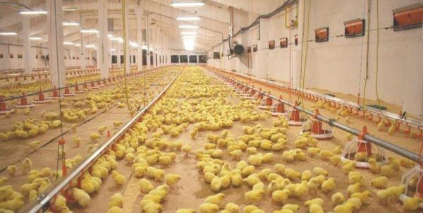 Приобретать птиц для собственной фермы лучше на крупной птицефабрике города
