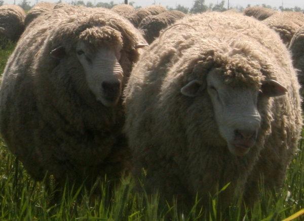 Северокавказские овцы популярны не меньше Романовских