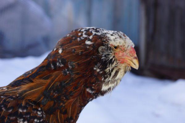 При приобретении пищевого инвентаря важно учесть изогнутую форму клюва орловских кур