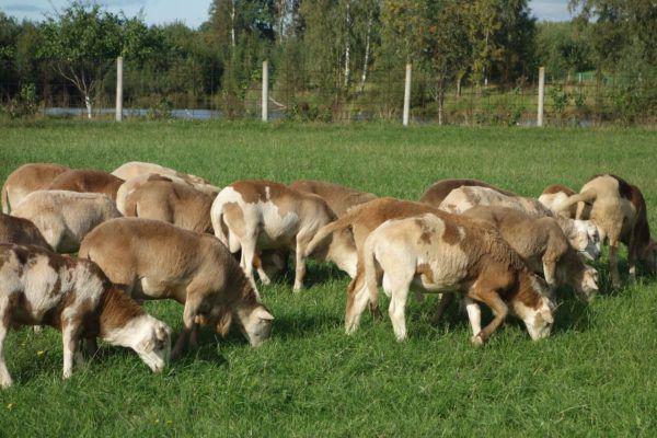 Гладкошерстные овцы созданы на основе Романовских и Катадинов