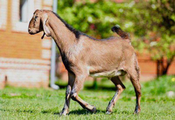 Отличительная особенность Нубийских коз — отсутствие специфического запаха