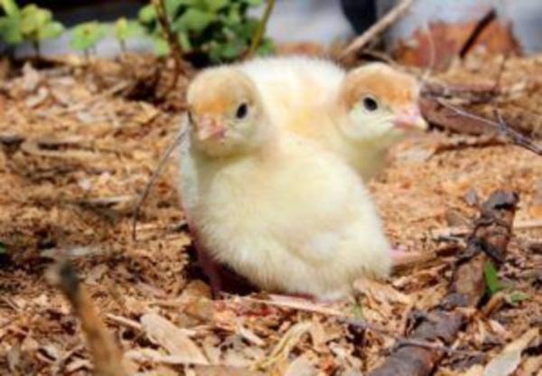 Несмотря на слабость, птенцы с первых дней жизни достаточно самостоятельные