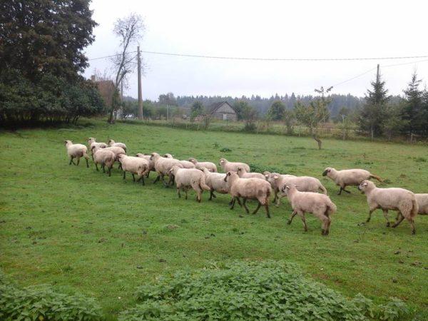 Генетическим материалом послужили местные грубошерстные овцы, английские темноголовые, оксфорды и шропширы