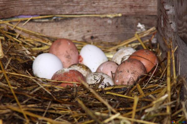 Один из самых важных моментов в выращивании цыплят — грамотная подкладка яиц