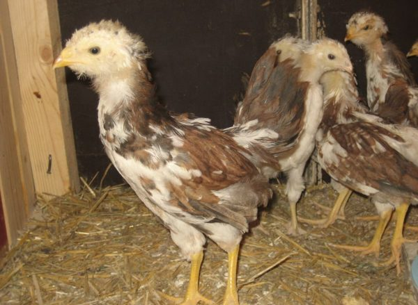Орловские цыплята медленно оперяются