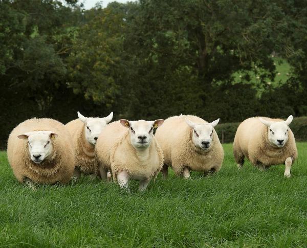 Белолицая разновидность овец, без шерсти на ногах и голове