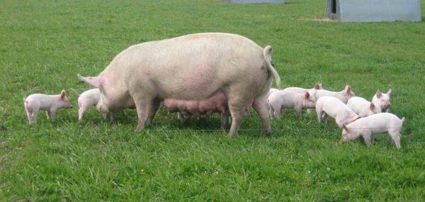 Свиноматка готова выносить, родить и выкормить потомство только к году жизни