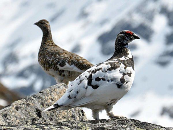Тундряная куропатка всю зиму проводит на острове Шпицберген, где температура опускается до -30С°