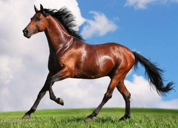 Лошадей отличает сияющая шерсть, будто намазанная маслом