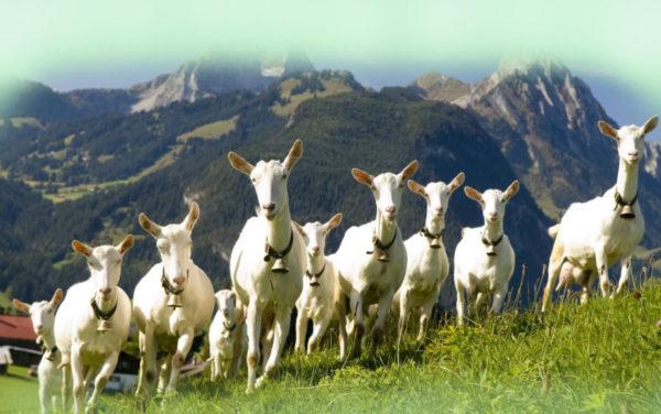 Зааненская коза является самой крупной в мире