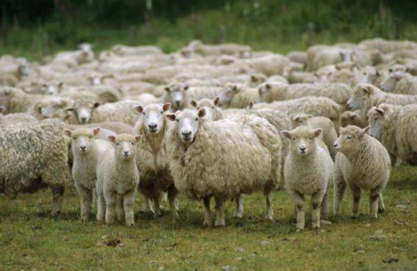 Овцы проводят на пастбище около 200 дней в году