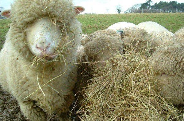 Оптимальная пища для овец зимой — сено