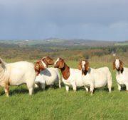 Вкусовые качества мяса Бурской козы схожи с телятиной