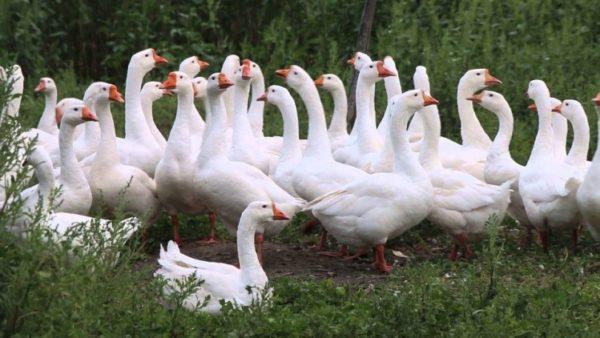 Линдовские гуси