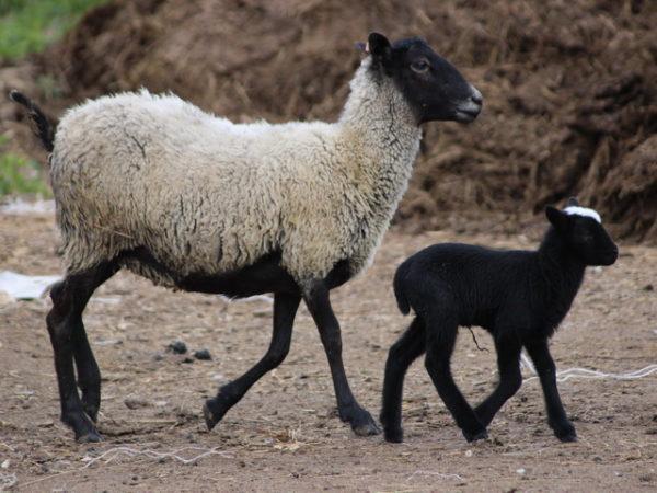 Романовская — наиболее популярная овечья порода в России