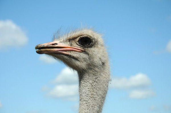 Глаз страуса больше, чем аналогичный орган у слона