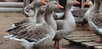 Порода серых гусей является мясной
