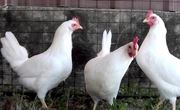 Белые куры породы Хайсекс