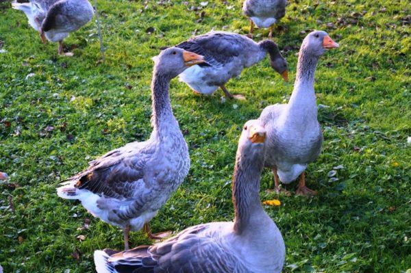 Птицы на выгуле