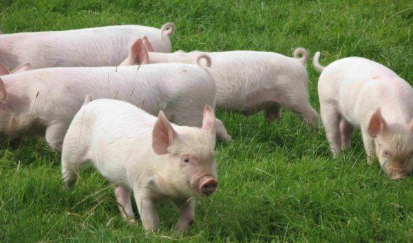 Свиньи не используют полипноэ для вывода лишнего тепла
