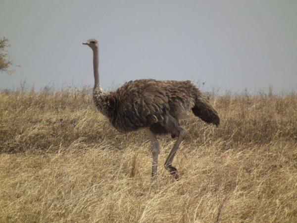 Самка Масайского страуса