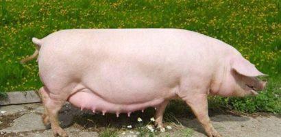 Беременность свиньи можно определить методом пальпации
