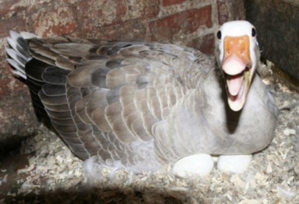 Гуси – сильные птицы, и могут охранять кладку яиц даже от хозяина