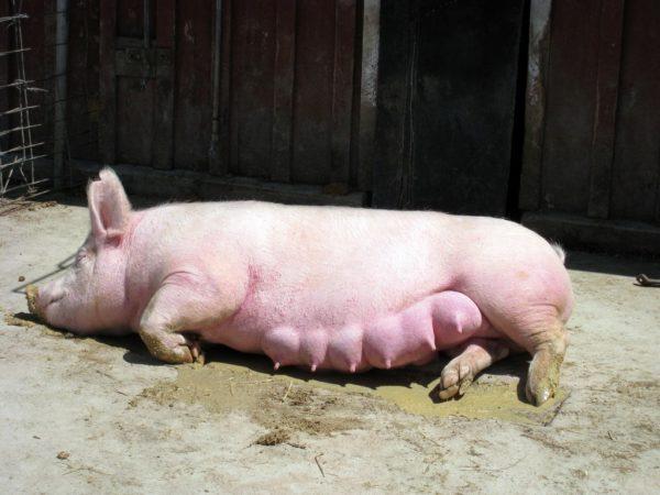 Супоросной свинье тяжело много двигаться
