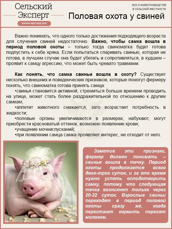 Половая охота у свиней