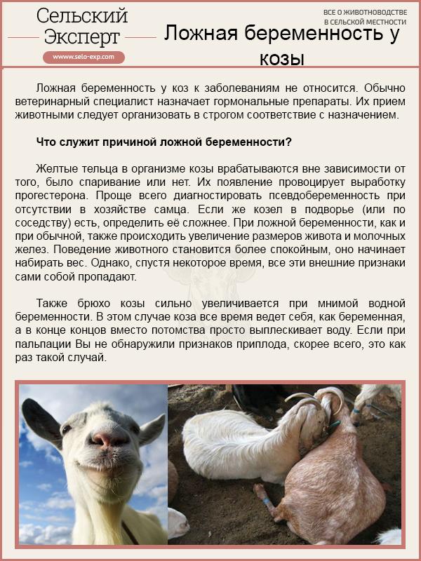 Ложная беременность у козы