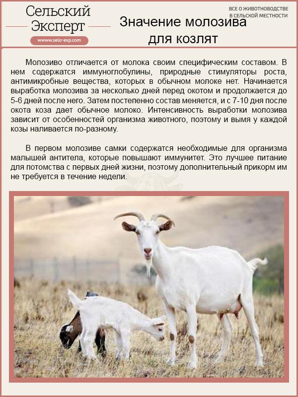 Значение молозива для козлят