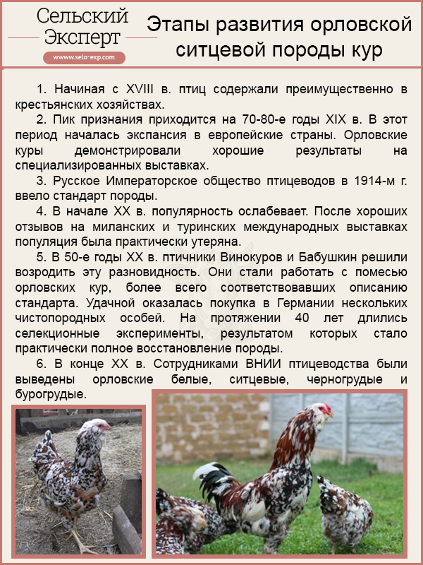 Этапы развития орловской ситцевой породы кур