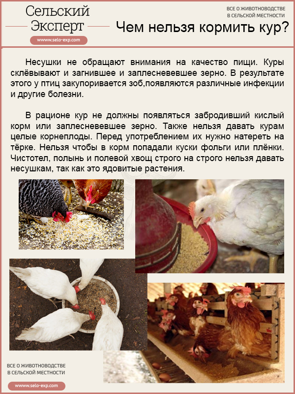 Чем нельзя кормить кур?