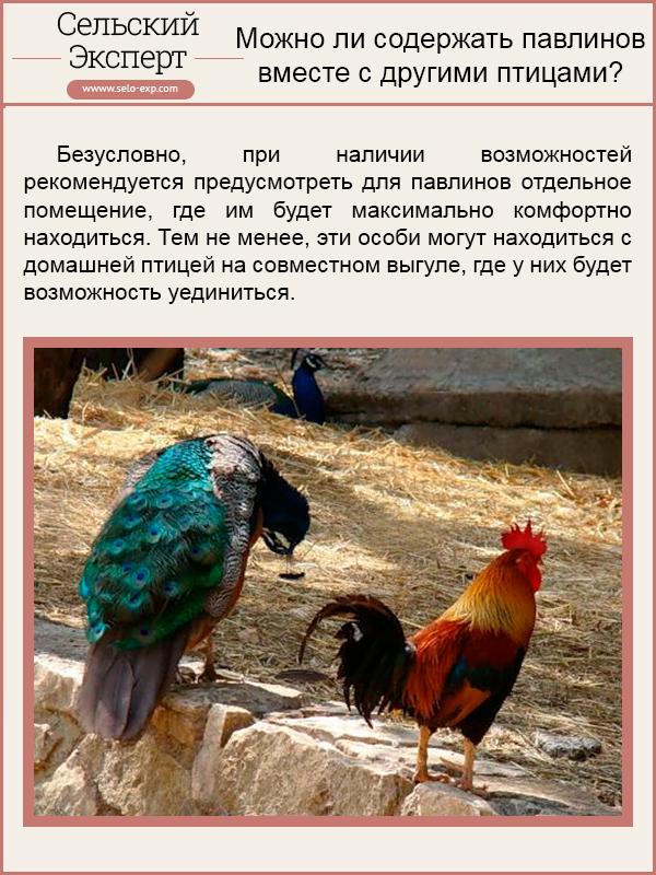 Можно ли содержать павлинов вместе с другими птицами?