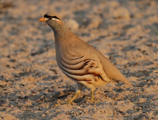 Пустынная куропатка