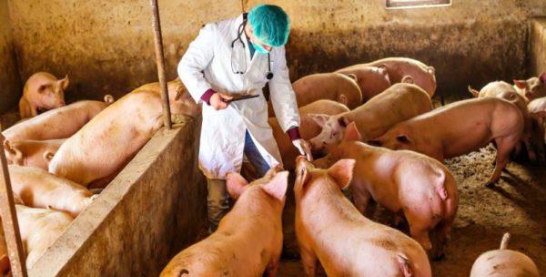 За пять-шесть дней до опороса самкам ставят инъекции против микробов